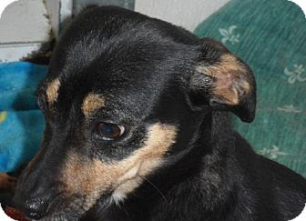 Manchester Terrier/Italian Greyhound Mix Dog for Sale in Seattle, Washington - Shanaynee