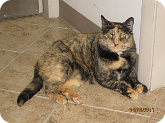 Domestic Shorthair Cat for adoption in Colorado Springs, Colorado - Mango