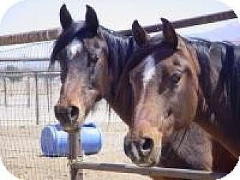 Arabian for adoption in Lucerne Valley, California - Dragonfly &amp; Wings of Fire