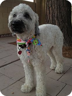 Wheaten Terrier Dog for Sale in Phoenix, Arizona - Amelia