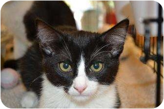 American Shorthair Cat for adoption in Chino, California - Kitten 4