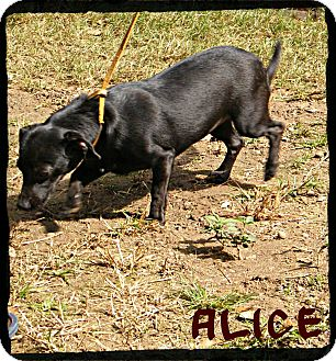 Dachshund/Chihuahua Mix Puppy for Sale in manasquam, New Jersey - Alice *Reduced Adoption Fee*