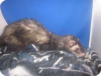 Ferret for adoption in Toledo, Ohio - Raj
