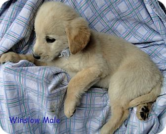Australian Shepherd/Labrador Retriever Mix Puppy for Sale in Danbury, Connecticut - Winslow ADOPTION PENDING