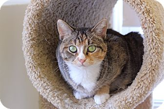Domestic Shorthair Cat for Sale in Chicago, Illinois - Roberta