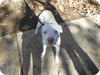 Pit Bull Terrier Mix Dog for Sale in Chula Vista, California - Blueie