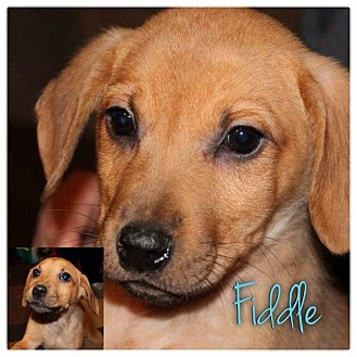 Dachshund/Beagle Mix Puppy for Sale in Westland, Michigan - Fiddle