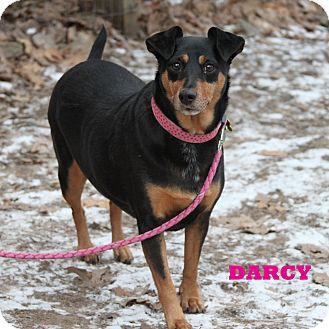 Miniature Pinscher/Sheltie, Shetland Sheepdog Mix Dog for adption in Shippenville, Pennsylvania - Darcy