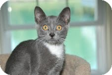 Russian Blue Kitten for adoption in Arlington, Virginia - Woody