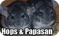 Chinchilla for Sale in Virginia Beach, Virginia - Papasan & Hops