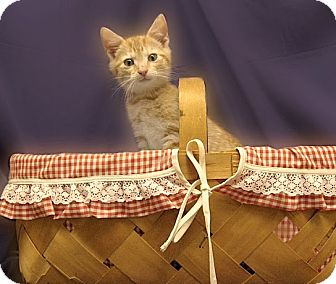 Domestic Shorthair Kitten for Sale in Richmond, Virginia - Toby