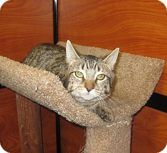 Domestic Shorthair Cat for adoption in Farmingdale, New York - Mollie