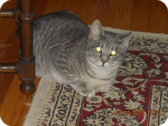 Colorpoint Shorthair Cat for Sale in Riverside, Rhode Island - Ace