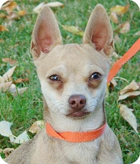 Chihuahua Mix Dog for Sale in Red Bluff, California - Cheekers