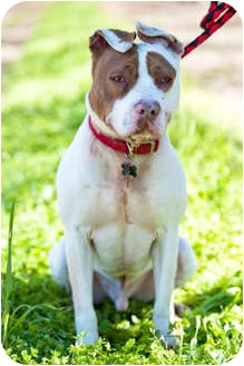 American Pit Bull Terrier Mix Dog for adption in Fresno, California - Fonzey