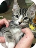 Domestic Shorthair Kitten for Sale in La Canada Flintridge, California - Sid