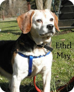 Beagle Mix Dog for Sale in Warren, Pennsylvania - Ethel May