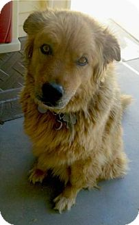 Golden Retriever/German Shepherd Dog Mix Dog for adption in Chandler, Arizona - Ellie