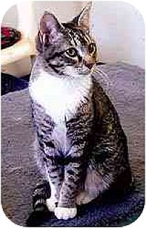 Domestic Shorthair Cat for adoption in Clovis, New Mexico - Cher