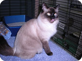 Siamese Cat for Sale in New Castle, Pennsylvania - 