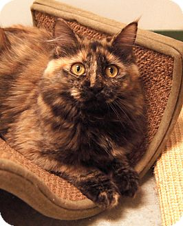 Maine Coon Kitten for Sale in Colorado Springs, Colorado - Cleo