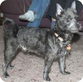 Terrier (Unknown Type, Small)/Schnauzer (Miniature) Mix Dog for Sale in Mt. Prospect, Illinois - Reggie