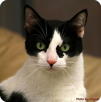 Domestic Shorthair Cat for adoption in Mesa, Arizona - Daliana