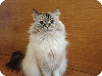 Himalayan Cat for Sale in Emsdale (Huntsville), Ontario - Luna - Princess!