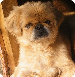 Pekingese Mix Dog for Sale in shelton, Connecticut - Pete