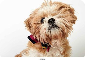 Shih Tzu Mix Dog for Sale in New York, New York - Little Man