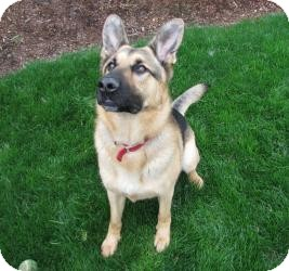 German Shepherd Dog Dog for Sale in Bothell, Washington - Sera