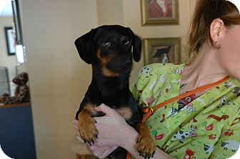 Dachshund Mix Dog for Sale in san antonio, Texas - Frankie
