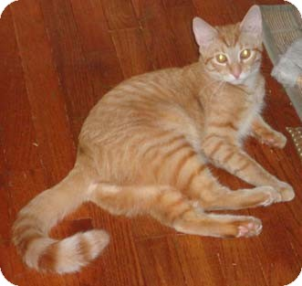 Domestic Shorthair Kitten for adoption in Merrifield, Virginia - Gulf & Texaco