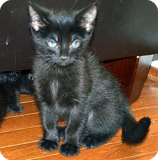 Russian Blue Kitten for Sale in Xenia, Ohio - Bonnie