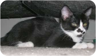 Domestic Shorthair Cat for Sale in North Highlands, California - Lexi