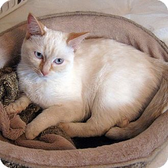 Siamese Kitten for adoption in Mississauga, Ontario, Ontario - Alice