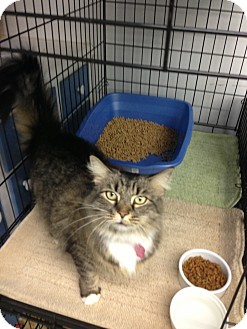 Maine Coon Cat for Sale in Aiken, South Carolina - River