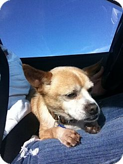 Chihuahua/Pekingese Mix Dog for adption in Ft. Collins, Colorado - Fred