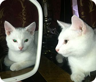Domestic Shorthair Cat for Sale in Bentonville, Arkansas - Summer Snow