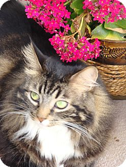 Maine Coon Cat for Sale in Laguna Woods, California - Sofia