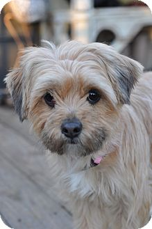 Yorkie, Yorkshire Terrier Mix Dog for Sale in Glastonbury, Connecticut - Sandy~meet me!~
