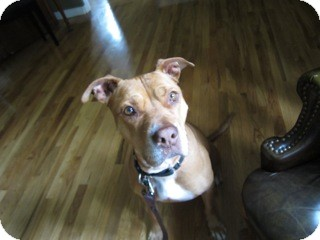 American Pit Bull Terrier Mix Dog for Sale in Los Angeles, California - Missy - NEEDS FOSTER!