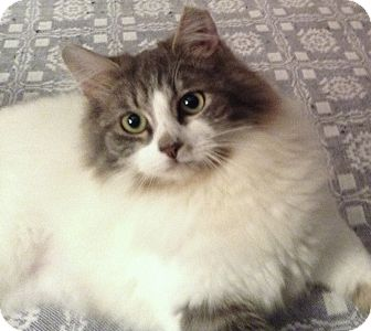 Maine Coon Cat for Sale in Chattanooga, Tennessee - Pita