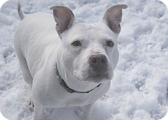 American Pit Bull Terrier Dog for adption in Chicago, Illinois - LOLA