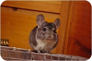 Chinchilla for adoption in Lubbock, Texas - Greyfriars