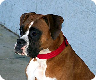 Boxer Mix Dog for Sale in Niagra Falls, New York - Mia