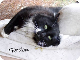 Domestic Mediumhair Cat for Sale in Hamilton, Montana - Gordon