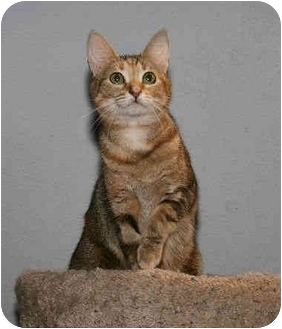 Domestic Shorthair Cat for adoption in Houston, Texas - Tawney Tabby Tail