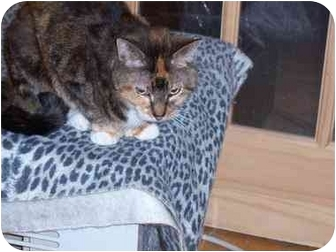 Calico Cat for Sale in Riverside, Rhode Island - Precious