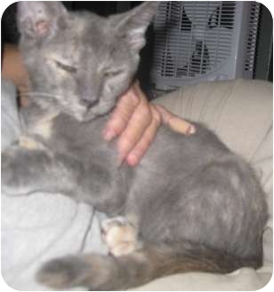 Russian Blue Kitten for Sale in Dallas area, Texas - Prism